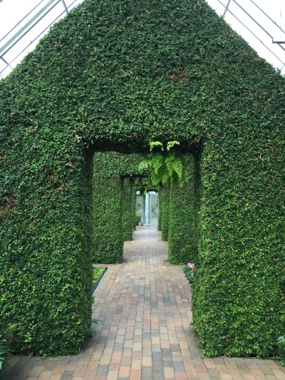 Ivy hedge in Minneapolis sculpture garden