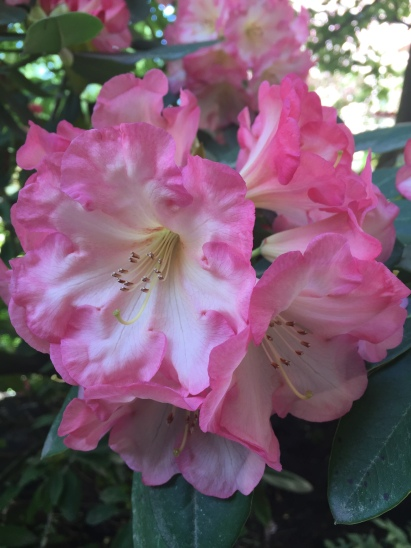 Pink rhododendron blossom